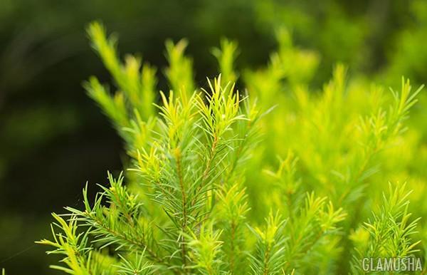 Масло чайного дерева применение для волос