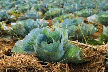 5 салатов из капусты: и моркови, из краснокочанной капусты, с курицей, с кукурузой и крабовый