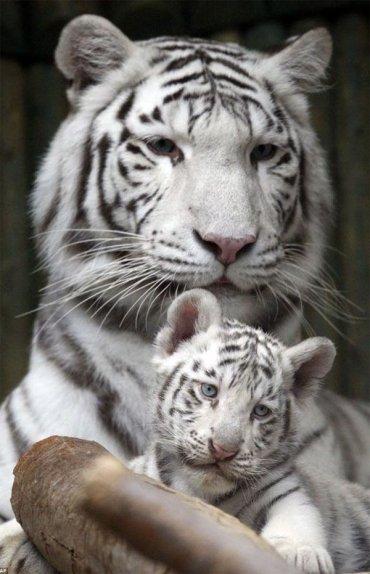 Чем наука и прогресс предложат умываться, чтобы даже тиграм не было страшно?